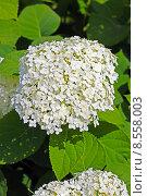 Цветущая белая древовидная гортензия (Hydrangea arborescens). Соцветие крупно. Стоковое фото, фотограф Евгений Мухортов / Фотобанк Лори