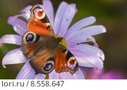 Купить «insect butterfly moth edelfalter nymphalidae», фото № 8558647, снято 16 октября 2019 г. (c) PantherMedia / Фотобанк Лори