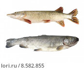 Купить «Raw pike and trout isolated», фото № 8582855, снято 20 января 2019 г. (c) PantherMedia / Фотобанк Лори