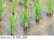Купить «New rice», фото № 8595295, снято 22 июля 2019 г. (c) PantherMedia / Фотобанк Лори