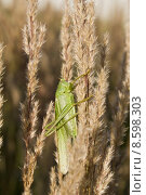Купить «heupferd animals fauna insects grasshoppers», фото № 8598303, снято 17 июня 2019 г. (c) PantherMedia / Фотобанк Лори