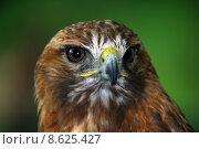 Купить «Red-tailed hawk», фото № 8625427, снято 16 сентября 2019 г. (c) PantherMedia / Фотобанк Лори