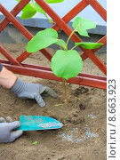 Купить «hand plant spring garden kiwi», фото № 8663923, снято 21 ноября 2019 г. (c) PantherMedia / Фотобанк Лори