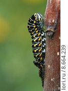 Купить «family butterfly familiy swallowtail papilio», фото № 8664239, снято 5 июля 2020 г. (c) PantherMedia / Фотобанк Лори