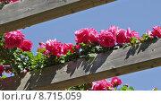 Купить «roses plant in spring garden», видеоролик № 8715059, снято 9 мая 2015 г. (c) Яков Филимонов / Фотобанк Лори