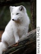 Купить «arctic fox polarfuchs caucasian nature», фото № 8764423, снято 25 апреля 2019 г. (c) PantherMedia / Фотобанк Лори