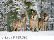 Купить «wolf wolves canis lupis winter», фото № 8789395, снято 16 июля 2018 г. (c) PantherMedia / Фотобанк Лори