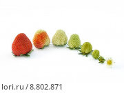 Купить «Strawberry growth isolated on white», фото № 8802871, снято 14 июля 2018 г. (c) PantherMedia / Фотобанк Лори