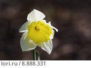 Купить «daffodil narcissus one light yellow», фото № 8888331, снято 15 декабря 2017 г. (c) PantherMedia / Фотобанк Лори