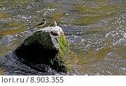 squabs cinerea bergbach bergstelze dreisam. Стоковое фото, фотограф Gerald Kiefer / PantherMedia / Фотобанк Лори