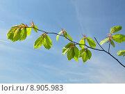 Купить «spring branch page sheet beech», фото № 8905983, снято 20 июня 2019 г. (c) PantherMedia / Фотобанк Лори