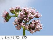 Купить «valerian (valeriana officinalis)», фото № 8924995, снято 20 марта 2019 г. (c) PantherMedia / Фотобанк Лори