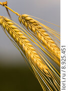 Купить «field agriculture grain harvest farming», фото № 8925451, снято 18 февраля 2019 г. (c) PantherMedia / Фотобанк Лори