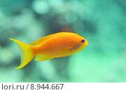 Купить «anthias fish», фото № 8944667, снято 17 июля 2018 г. (c) PantherMedia / Фотобанк Лори