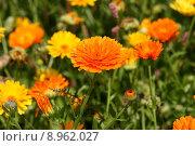 Купить «plant flower orange blossom bloom», фото № 8962027, снято 21 марта 2019 г. (c) PantherMedia / Фотобанк Лори