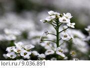 Купить «clear crystal white alyssum», фото № 9036891, снято 21 марта 2019 г. (c) PantherMedia / Фотобанк Лори
