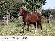 Купить «horse arab stallion mare gelding», фото № 9085135, снято 21 марта 2019 г. (c) PantherMedia / Фотобанк Лори