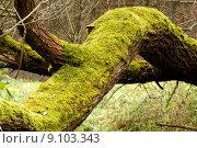 Купить «Bright Green Moss (bryophytes) on tree trunks», фото № 9103343, снято 15 ноября 2018 г. (c) PantherMedia / Фотобанк Лори