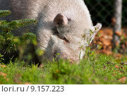 Купить «nature pig firs proboscis domestic», фото № 9157223, снято 25 мая 2019 г. (c) PantherMedia / Фотобанк Лори