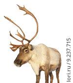 Купить «Caribou reindeer isolated looking at camera», фото № 9237715, снято 21 марта 2019 г. (c) PantherMedia / Фотобанк Лори