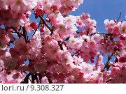 Купить «spring japan blossoms kirsch bleed», фото № 9308327, снято 19 сентября 2019 г. (c) PantherMedia / Фотобанк Лори