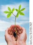 Купить «Chestnut sprout in hand», фото № 9319707, снято 19 сентября 2019 г. (c) PantherMedia / Фотобанк Лори