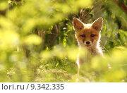 Купить «wildlife fox foxes den of», фото № 9342335, снято 15 декабря 2017 г. (c) PantherMedia / Фотобанк Лори