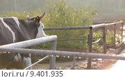 Корова в загоне утром. Стоковое видео, видеограф Алексей Жарков / Фотобанк Лори