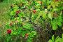 Куст шиповника с плодами, фото № 9402451, снято 28 августа 2015 г. (c) Зезелина Марина / Фотобанк Лори