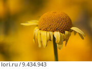 Купить «yellow arnica arzneipflanze bergwohl heilkr», фото № 9434943, снято 26 июня 2019 г. (c) PantherMedia / Фотобанк Лори