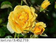 Купить «Роза чайно-гибридная Ю а Май Саншайн (Ты моё солнце) (лат. You Are My Sunshine), Fryers 2007», эксклюзивное фото № 9452719, снято 1 августа 2015 г. (c) lana1501 / Фотобанк Лори