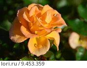 Купить «Роза патио Мериголд Свит Дрим (лат. Marigold Sweet Dream), Fryer 2010», эксклюзивное фото № 9453359, снято 1 августа 2015 г. (c) lana1501 / Фотобанк Лори