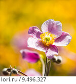 Купить «Pink Japanese Anemone or Anemone japonica flower», фото № 9496327, снято 19 сентября 2019 г. (c) PantherMedia / Фотобанк Лори