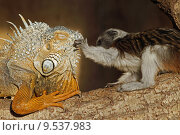 Купить «green reptile iguana slap lisztaffe», фото № 9537983, снято 26 мая 2019 г. (c) PantherMedia / Фотобанк Лори