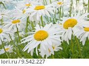 Купить «daisy flower», фото № 9542227, снято 22 августа 2018 г. (c) PantherMedia / Фотобанк Лори