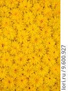 Купить «Group of Rudbeckia laciniata flower heads - yellow daisy background», фото № 9600927, снято 19 сентября 2019 г. (c) PantherMedia / Фотобанк Лори