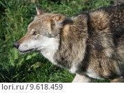 Купить «wolf lupus canis dog predator», фото № 9618459, снято 22 июля 2019 г. (c) PantherMedia / Фотобанк Лори