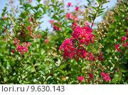 Купить «Red flowers of Lagerstroemia indica, Crape myrtle or Crepe myrtle», фото № 9630143, снято 17 декабря 2018 г. (c) PantherMedia / Фотобанк Лори