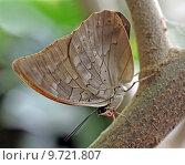 Купить «caribbean butterfly swallowtail blaugestreifter schwalbenschwanz», фото № 9721807, снято 23 января 2019 г. (c) PantherMedia / Фотобанк Лори