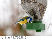 Купить «a chickadee feeding on a bird feeder», фото № 9736843, снято 19 апреля 2019 г. (c) PantherMedia / Фотобанк Лори
