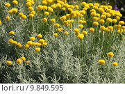 Купить «compositae florets naturopathy chamaecyparissus gelbe», фото № 9849595, снято 11 марта 2019 г. (c) PantherMedia / Фотобанк Лори