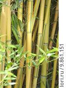 Купить «green yellow forest exotic bamboo», фото № 9861151, снято 22 июля 2019 г. (c) PantherMedia / Фотобанк Лори