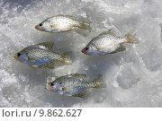 Купить «crappie catch on ice», фото № 9862627, снято 23 февраля 2019 г. (c) PantherMedia / Фотобанк Лори