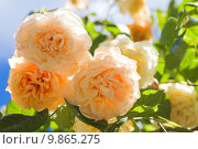 Купить «Beautiful yellow scented old climbing rose 'Buff Beauty' », фото № 9865275, снято 22 апреля 2019 г. (c) PantherMedia / Фотобанк Лори