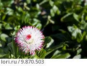 Купить «Violet tipped chrysanthemum», фото № 9870503, снято 22 июля 2019 г. (c) PantherMedia / Фотобанк Лори