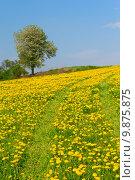 Dandelion meadow and alone tree . Стоковое фото, фотограф Jaroslav Frank / PantherMedia / Фотобанк Лори