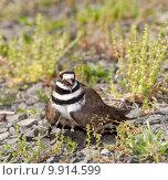 Купить «Killdeer bird defending its nest», фото № 9914599, снято 19 января 2020 г. (c) PantherMedia / Фотобанк Лори
