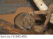 Купить «cute pet rodent degu strauchratte», фото № 9943455, снято 16 февраля 2020 г. (c) PantherMedia / Фотобанк Лори
