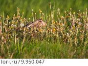 Купить «europaeus fastness feld fugitive geschwindigkeit», фото № 9950047, снято 18 июля 2018 г. (c) PantherMedia / Фотобанк Лори