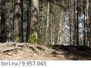 Купить «Detail of a pine forest», фото № 9957043, снято 15 ноября 2019 г. (c) PantherMedia / Фотобанк Лори